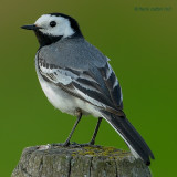 white wagtail.... witte kwikstaart