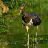 black stork.... zwarte ooievaar
