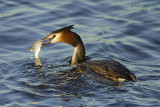divers and grebes... duikers en futen