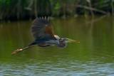 purple heron.... purperreiger