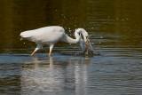 great white egret.... grote zilverreiger
