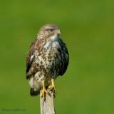 common buzzard.... buizerd