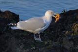 herring gull.... zilvermeeuw