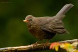 blackbird.... merel