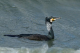 great cormorant.... aalscholver