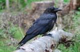 Raven ( Korp )