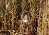 Aquatic Warbler ( Vattensångare )