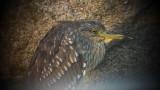 Night Heron (Natthäger )