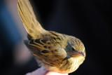 Lanceolated Warbler ( Träsksångare )
