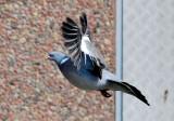 Wood pigeon ( Ringduva )