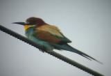 European Bee-eater ( Biätare )