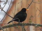 Blackbird ( Koltrast )
