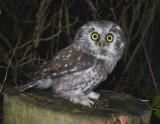 Tengmalm`s Owl ( Pärluggla )