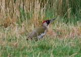 European Green Woodpecker ( Gröngöling )