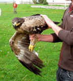 Steppe Eagle ( Stäppörn )