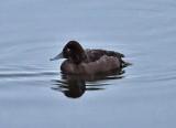 Ferruginous Duck ( Vitögd dykand )