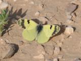 Greenish black-tip