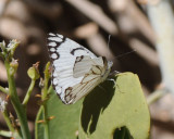Fjäril