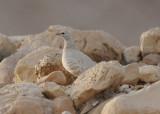 Desert partridge