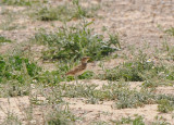 Bimaculated lark