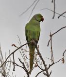 Rosa-necked parakeet