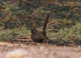 Black-bush robin Holland park