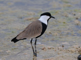 Spur-winged plower