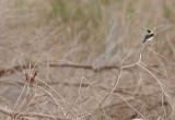 Rufous-bush-robin and a male Black-eared wheatear