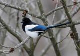 Common Magpie ( Skata )