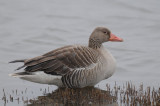Greylag Goose (Grågås )