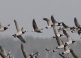 Lesser-white fronted Goose (Fjällgås )