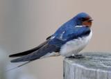 Barn Swallow ( Ladusvala )