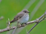 Spotted Flycatcher ( Grå flugsnappare )