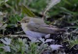 Wood Warbler ( Grönsångare )