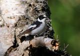Collared flycatcher ( Halsbandsflugsnappare )