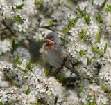 Subalpine Warbler ( Rödstrupig sångare )