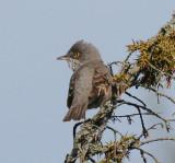 Barred warbler (Höksångare )