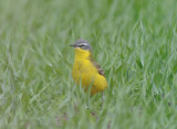 Yellow wagtail (Gulärla )