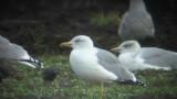 Yellow-Legged Gull ( Medelhavstrut )
