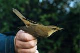 Great-Reed Warbler ( Trastsångare )
