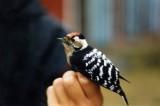 Lesser Spotted Woodpecker ( Mindre hackspett )
