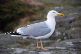 Herring Gull ( Gråtrut )