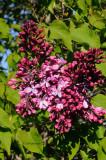 Almost Lilacs