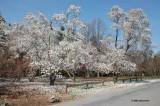 Snowy Magnolias