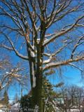 Decorated Pin Oak