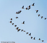Canada Geese - Evening Flight into the Sunset