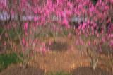 4/5/08 - Tulip Magnolias