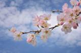 4/5/08 - Cherry Blossom Time