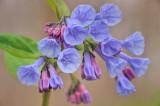 4/6/08 - Virginia Bluebells