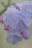 4/13/08 - Virginia Bluebells